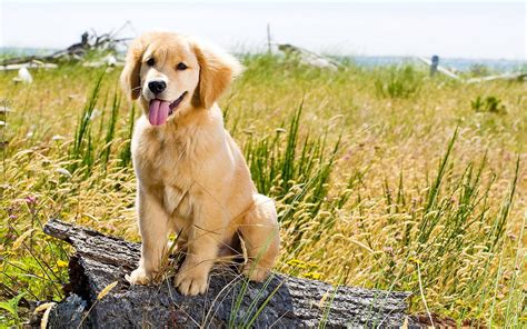 wallpaper golden retriever golden retriever puppy wallpaper 2081 1920x1200 umad