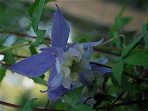 Clematis Alpina Blue Princess 2600 by Ein Garten In Norddeutschland
