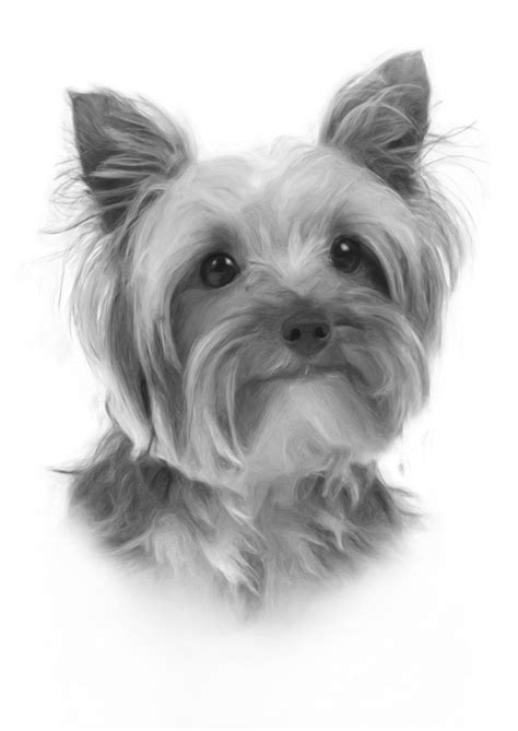 ebay yorkies large stunning terrier drawing print picture b ebay