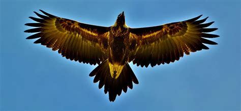 tattoo wedge tail eagle wedge tailed eagle wing google search tattoo