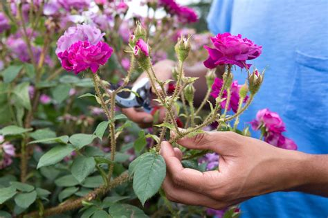 deadheading roses in pictures gardenersworld com