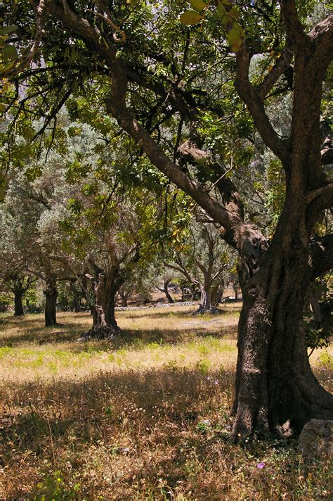 Olive Garden Woodland by Free Images Nature Forest Branch Blossom Wood
