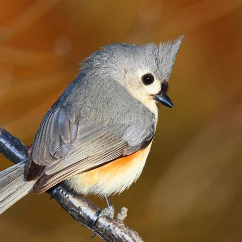 tufted titmouse male www pixshark com images galleries