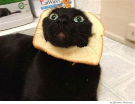 Cat Breading Meme - breading cats meme weknowmemes