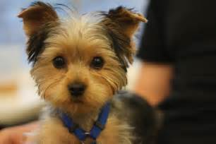pictures of puppy haircuts for yorkie dogs yorkie puppies haircuts newhairstylesformen2014 com
