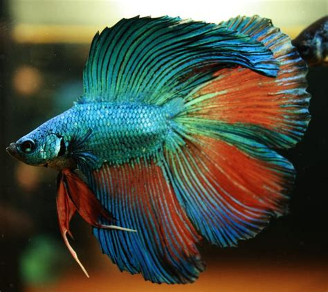 10 Best Images About Beta 122 best images about beautiful bettas on beta