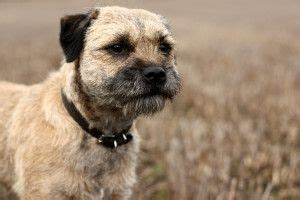 Border Terrier Shed by The Border Terrier From Post On Non Shedding Dogs