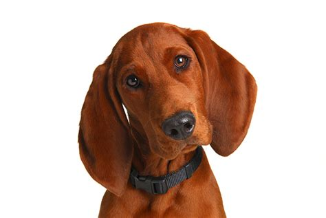 redbone puppies redbone coonhound breed information pictures characteristics facts dogtime