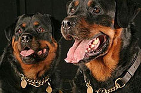 killer rottweiler my grief by killer dogs mirror