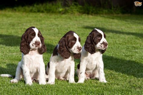 springer spaniels for sale english springer spaniel dog breed facts highlights