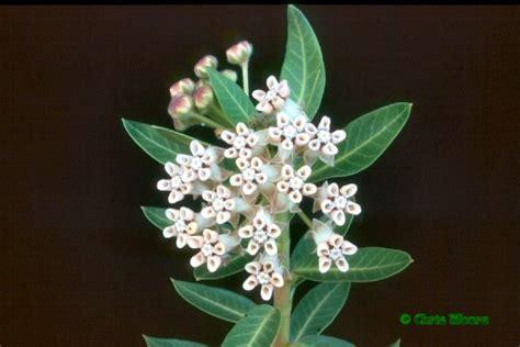 Exotische Nutz- und Zierpflanzen - Asclepias cancellata Asclepias Cancellata