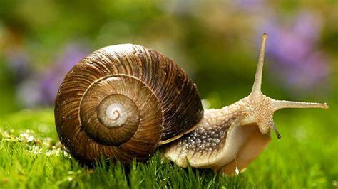 el caracol despistado que los cuidados clave para tener un caracol como mascota