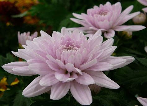 mums flower 42 best images about mum on pinterest abstract