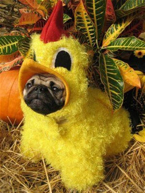 chicken pug haha awe poor pug i like to dress up my doggies but i won t go this far
