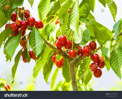 cherry tree unripe berries cherry tree on branches stock photo 123392545