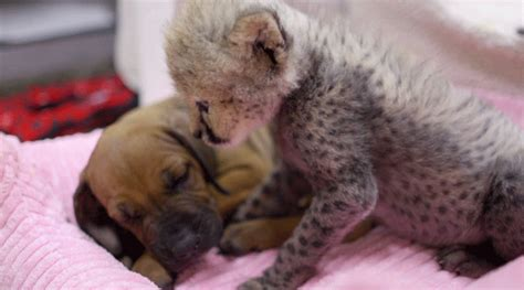 cheetah puppy baby cheetah rejected by gets puppy for companion q13 fox news