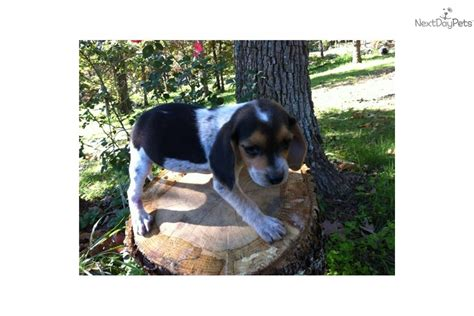 blue beagle puppies for sale blue tick beagle mix puppies breeds picture