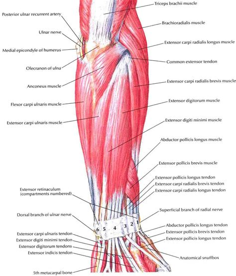 diagram of the forearm forearm muscles structure injuries veins exercise