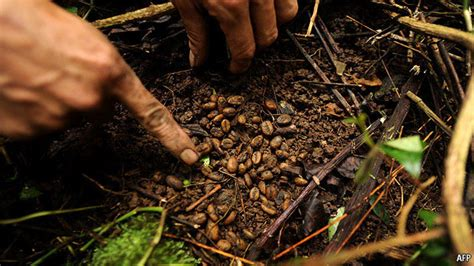 Coffee Bean Surabaya the angsana tree kopi luwak world s most expensive