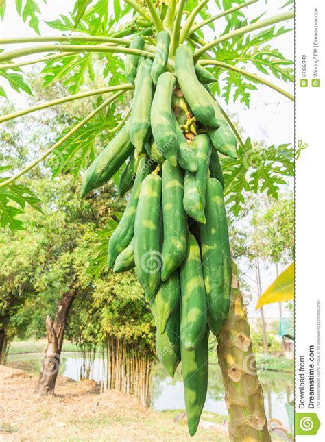 Papaya Garden by Papaya Tree Royalty Free Stock Photos Image 31632348