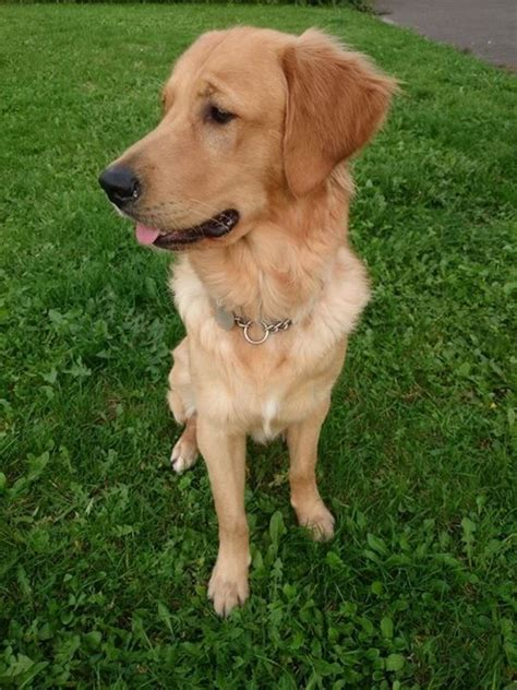 oldest golden retriever record 10 month golden retriever kc reg basingstoke hshire pets4homes