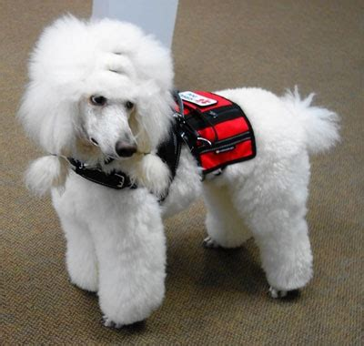 what are service dogs trained to do the service psychiatric service dogs for ptsd panic disorder and depression