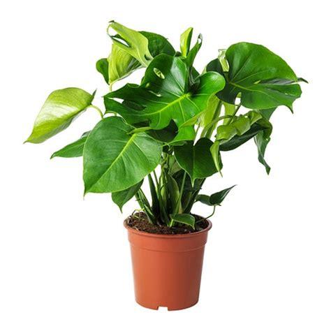 vasi piante ikea monstera pianta da vaso ikea