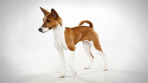 basenji puppy basenji breed selector animal planet