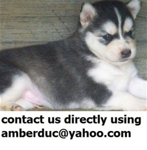 puppies clarksville tn dogs clarksville tn free classified ads