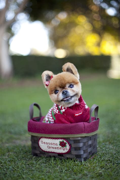 my pomeranian is wheezing pomeranian lessons what i learned from quot precious quot the pom