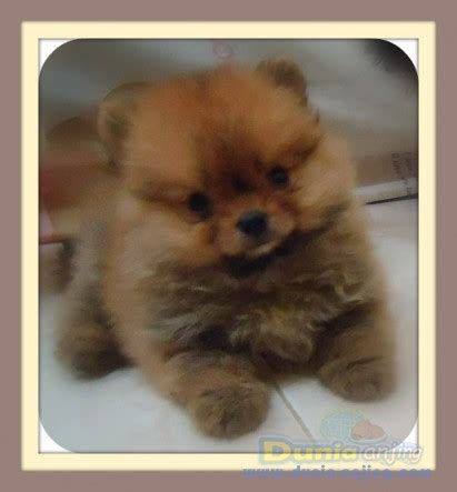 pomeranian puppies for sell dunia anjing jual anjing pomeranian mini pom puppy for sell breeds picture