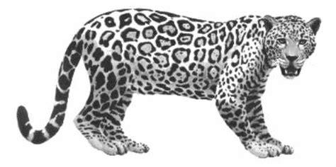 imagenes de un jaguar negro jaguar o leopardo
