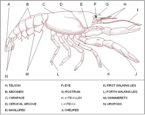Crayfish Dissection Worksheet by Crayfish Diagram Pictures To Pin On Thepinsta