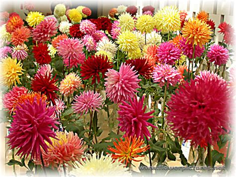 Kaos Family Flower Family flower of the month by kaos dahlia kaos