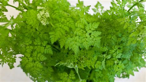 learn about growing the chervil herb