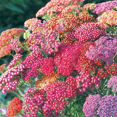 achillea seeds summer berries view  flower seeds