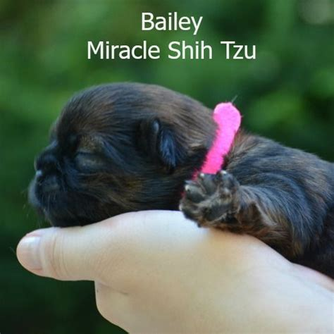 shih tzu puppies for sale ohio 1000 images about shih tzu puppies on travel and ohio