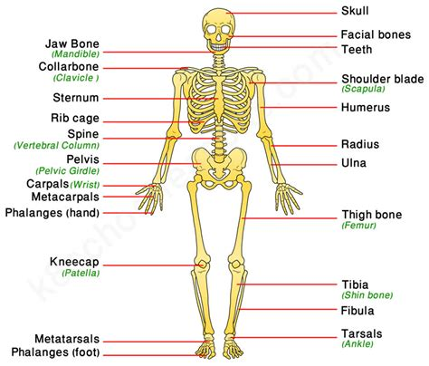 Show Me A Picture Of The Skeletal System