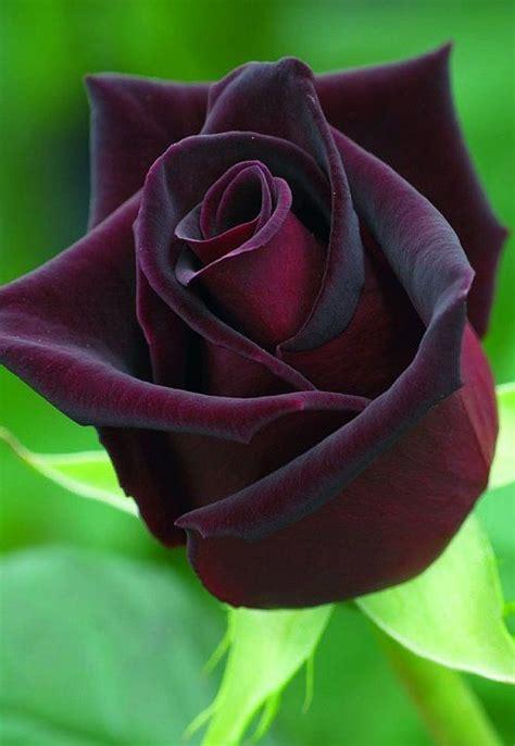 black rose themes natural black rose www pixshark com images galleries