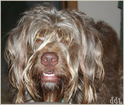 wire haired griffon puppy wirehaired pointing griffon puppies breeders pointing griffons