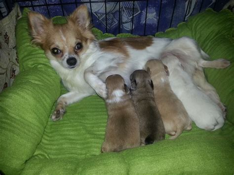 dogs 4 sale 4 haired chihuahua puppies 4 sale blackwood caerphilly pets4homes