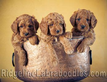 labradoodle puppies for sale ny australian labradoodle puppies for sale serving new york seattle medina