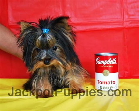 yorkie vs teacup yorkie biewer yorkie vs yorkie breeds picture
