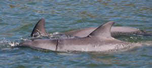 news vanken placards posted to save indian river dolphins local news