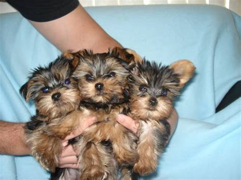 yorkie babies for free teacup yorkie puppies for free adoption lenexa ks asnclassifieds