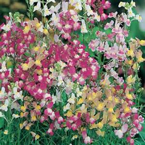 Flowering Onions - linaria fairy bouquet mixed seeds from mr fothergill s
