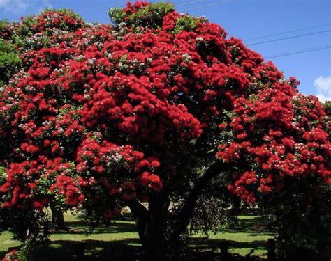 pohutukawa new zealands christmas tree pohutukawa new