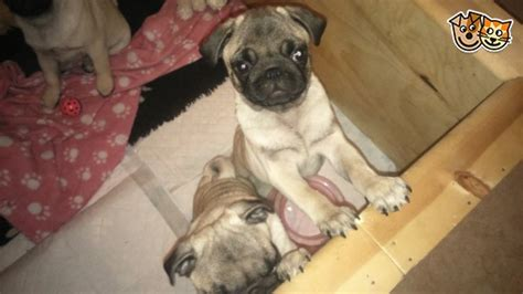 weaning pug puppies pugs for sale chorley lancashire pets4homes