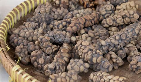 Kopi Luwak Coffee cat poo cino or kopi luwak a local delicacy in bali