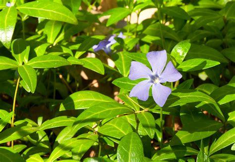 Winterharte Pflanzen Immergr N 1273 by Balkonpflanzen Winterhart Pflegeleichte Balkonpflanzen